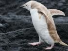 Un pinguin BLOND a fost filmat de cercetatori! Afla cum explica biologii acest fenomen- VIDEO