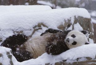 Acest video a cucerit internetul! Vezi cum un urs panda se da de-a berbeleacul prin zapada -VIDEO
