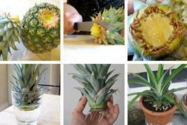 A taiat frunzele de la ananas si le-a infipt in pamant! Peste 3 ani au gasit o minune in vazon!