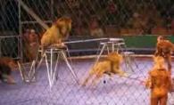 Scene de groaza la circ. Dresorii, la un pas de moarte dupa ce au fost atacati de mai multi lei - VIDEO