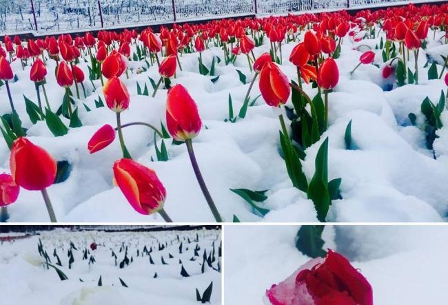 Un milion de lalele s-au pomenit sub zapada in mijloc de aprilie. Cum arata acum paradisul din Bardar - VIDEO