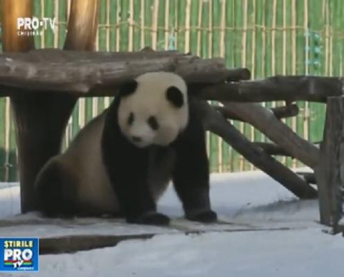 Scene adorabile, surprinse in China. Un urs panda se bucura de prima zapada din acest an. El a fost filmat in timp ce se joaca si se rostogoleste in omat - VIDEO